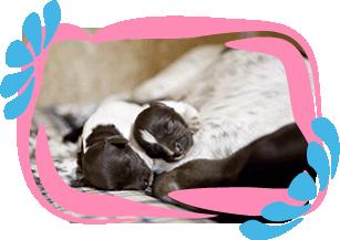 heidewachtel puppies