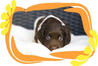 heidewachtel pup